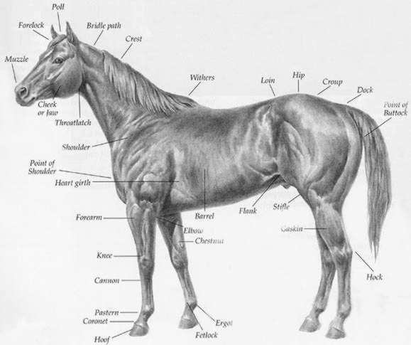 Quarter Horse Head Drawing horse's hoof gr...